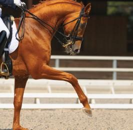 Dressage: portrait of sorrel horse