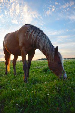 horse-grazing-2536541_1920